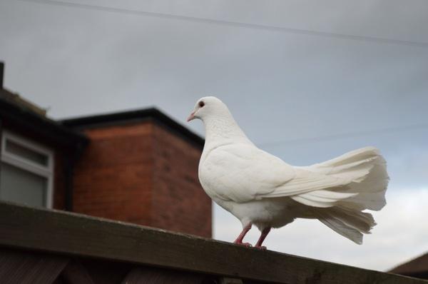 posing white dove