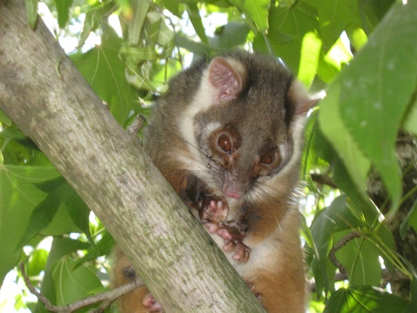 Are Possums Good or Bad to Have Around?