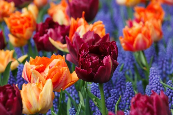 purple and orange tulips