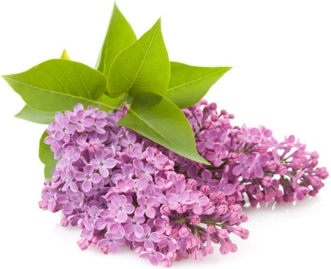 purple flower 02 hq pictures