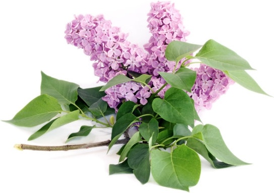 purple flower 03 hq pictures