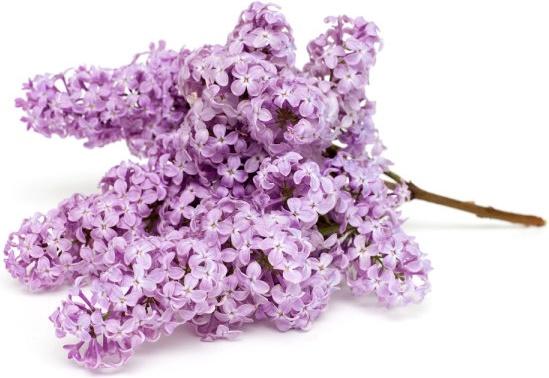 purple flower 04 hq pictures