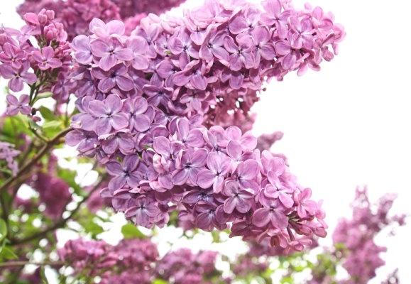 purple flower 05 hq pictures