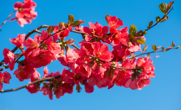quince blossoms on a sunny day