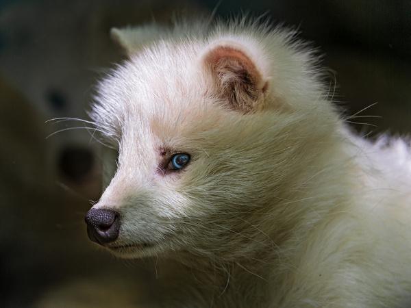 raccoon dog profile