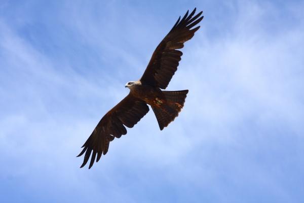 raptor bird of prey fly