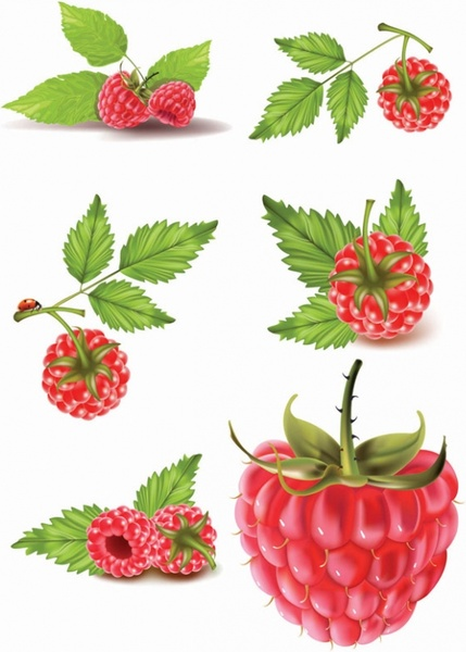 raspberry vector free vector download  43 free vector  for commercial use  format  ai  eps  cdr