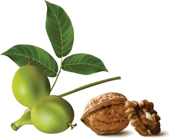 realistic green walnut walnut 01 vector