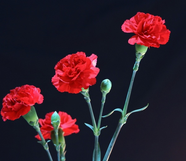 Red Carnations Flowers Fragrant Free Stock Photos In Jpeg Jpg