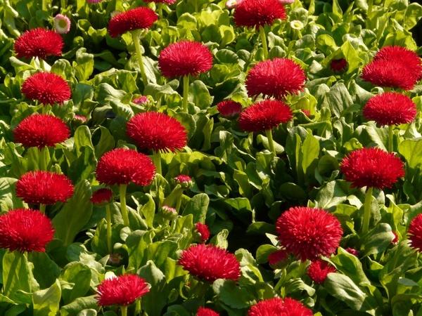 red daisy daisy flower