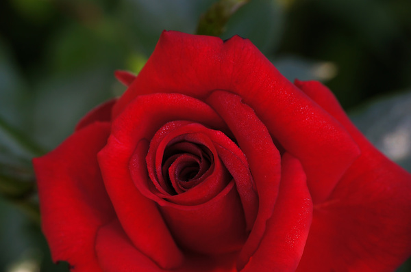 red rose rote rose