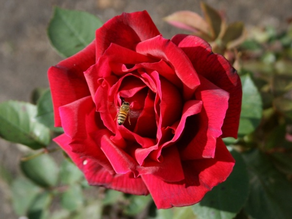 Image result for images bee on rose