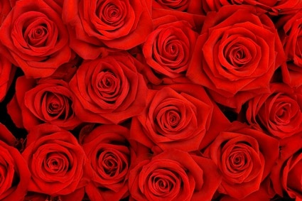 Red Roses Background Picture Free Stock Photos In Image Format