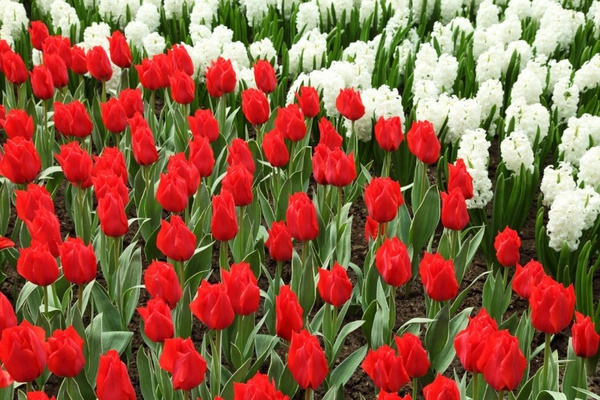 red tulips and white hyacinths
