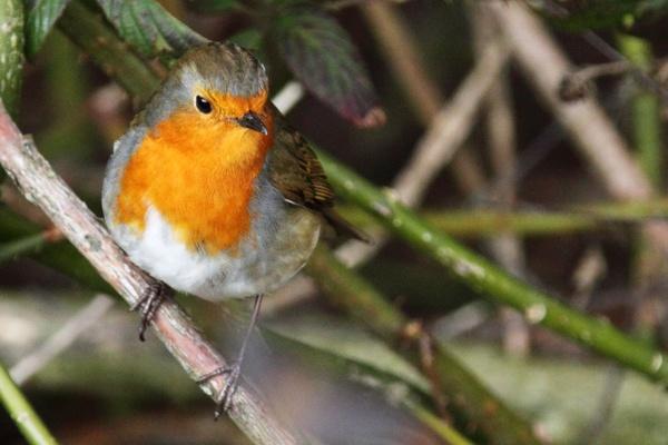 robin bird