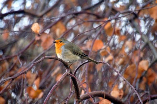robin pets nature