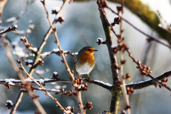 robin spring nature
