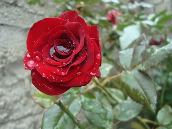 rosa red beautiful girl