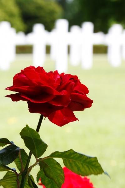 rose at war memorial