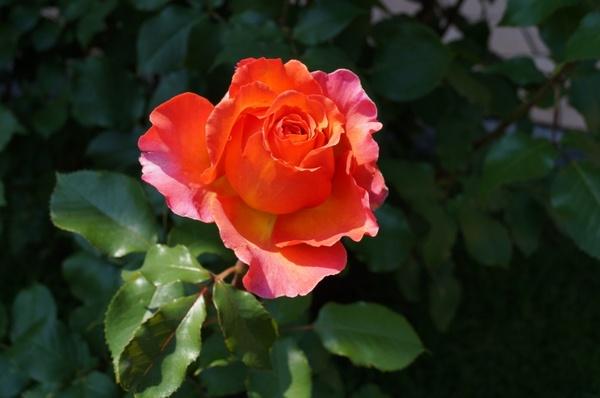 rose bloom spring flower