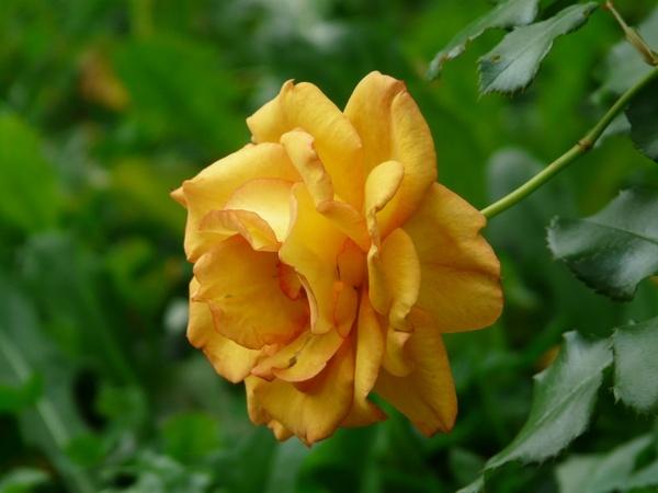 rose flower orange