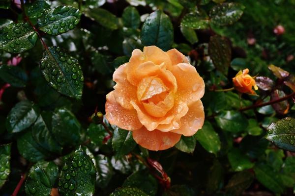 beautiful fresh orange roses under dew drops