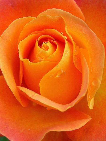 rose raindrops apricot
