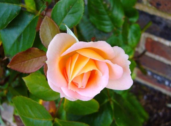rose rosebud flower