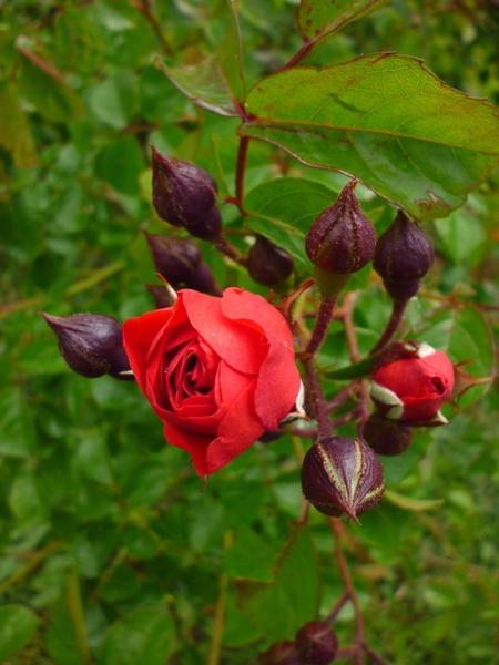 rose summer flower red