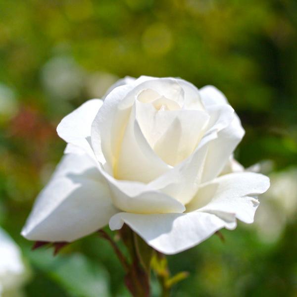 rose white arrow