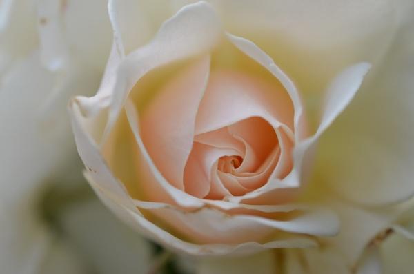 rose white rose flower
