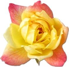 Rose Yellow 2