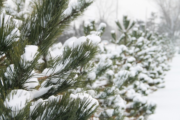 Row of pine trees covered in snow free stock photos in jpg - Images of pine trees in snow ...