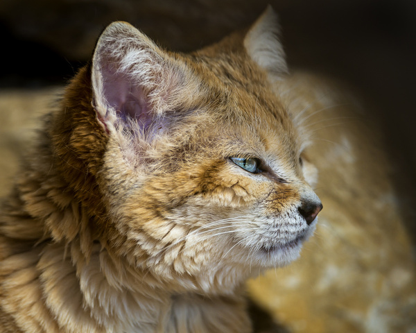 sand cat profile