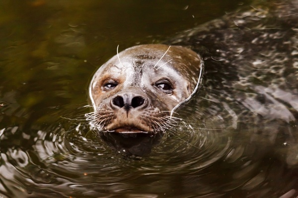 sea lion in water