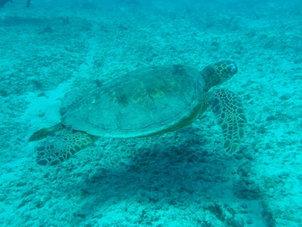 sea turtle 01