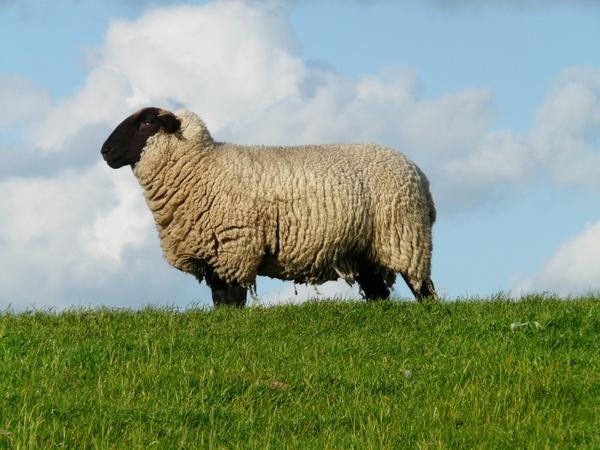 sheep chef boss