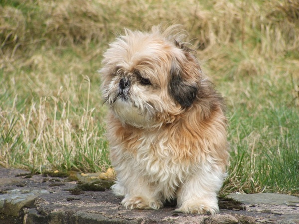 Shih Tzu Dog Pet Free Stock Photos In Jpeg Jpg 2272x1704 Format