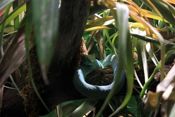 side striped palm pit viper