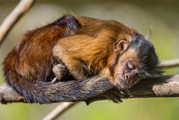 Sleeping capuchin monkey Free stock photos in jpg format for
