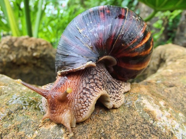 snail african south africa