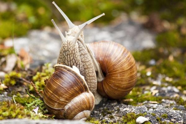 snail helix pomatia