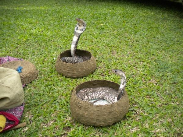 snake charmer snake animal