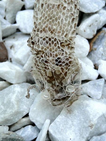 snake snake skin head