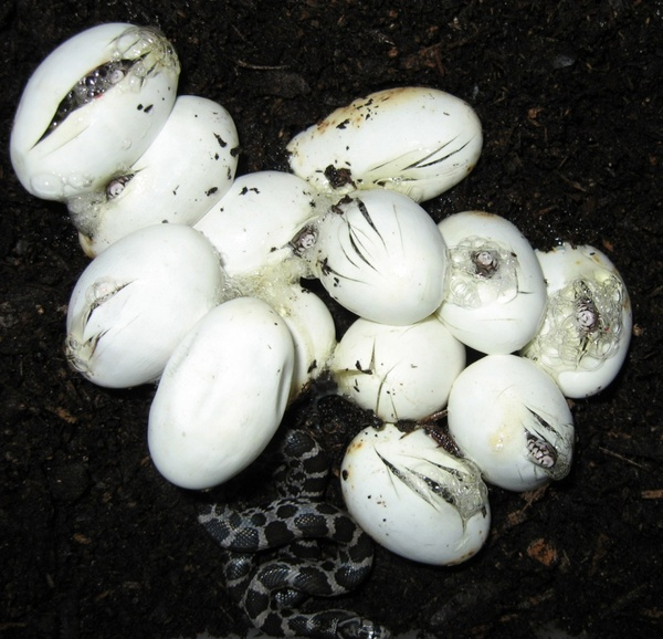 snakes hatching