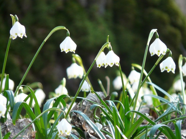 snowflake spring spring flower