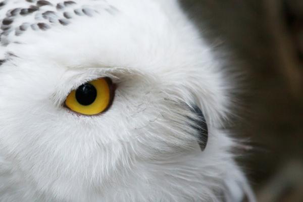 snowy owl eye