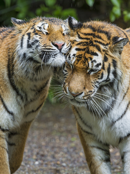 snuggling tigers