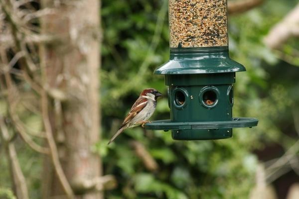 sparrow at bird feeder