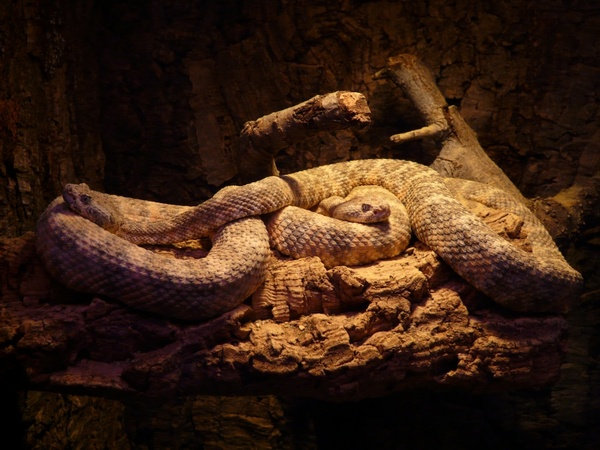spotted rattlesnake snakes crotalus mitchellii